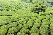 foto of cameron highland  - Landscape with tea plantation Cameron highlands Malaysia - JPG