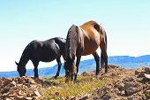 Horses On The Autumn Caucasus Meadow