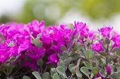 pic of barometer  - Pink Leucophyllum frutescens or Barometer Bush flowers in the garden  - JPG