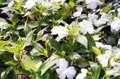 White Flowers In Garden