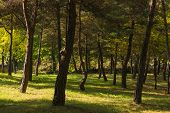 Pine Forest With Sunlight