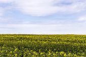 image of rape-seed  - rape field in the island of Usedom - JPG
