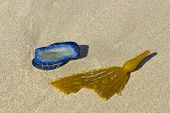 Blue Velella Velella And Kelp Blade With Bladder