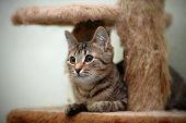 Striped Domestic Cat.