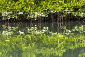 Beautiful Mangrove Plantations On The Sea With Roots Showing