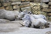 Herd of Southern White Rhinoceros.