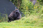 Western lowland gorilla with cub.