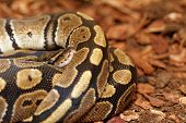picture of python  - Ball Python  - JPG