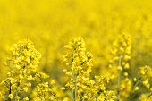 picture of rape-seed  - Blooming canola field  - JPG