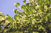 picture of lime-blossom  - blossoming summer linden tree  - JPG