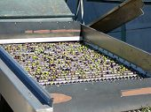 picture of hopper  - Freshly harvested Olives on sorting hopper rollers