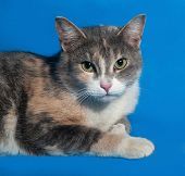Tricolor Cat On Blue