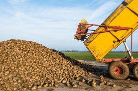 stock photo of dumper  - A yellow dumper dumps sugar beets on a heap beside the field awaiting transport to the sugar factory - JPG
