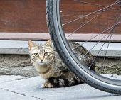 pic of tabby-cat  - Bolsena  - JPG