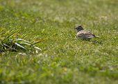 stock photo of mockingbird  - Skylark spotted outside in Bull Island Dublin Ireland - JPG