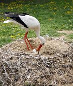 picture of stork  - Close-up of a stork in its natural habitat. Adult stork in natural habitat on nest