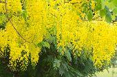 image of vishu  - Flower of golden shower tree on white background - JPG