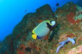 image of emperor  - Emperor Angelfish - JPG