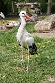 picture of stork  - Looking For Food Stork Is Walking By Green Lawn - JPG
