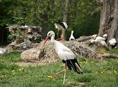 pic of stork  - Young stork on the green lawn background - JPG
