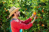 image of orange-tree  - Farmer man harvesting oranges in an orange tree field - JPG
