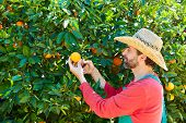 foto of orange-tree  - Farmer man harvesting oranges in an orange tree field - JPG
