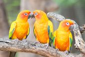 picture of sun perch  - Lovely Sun Conure Parrot on the perch - JPG
