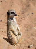 stock photo of meerkats  - Single Meerkat on lookout against sand background - JPG