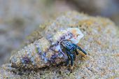 stock photo of hermit crab  - Hermit Crab in a screw shell on tropical sea - JPG
