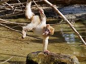 image of baby-monkey  - A Berber monkey baby is playing above water - JPG