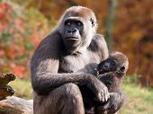 foto of gorilla  - A Gorilla mother with her baby in her arms - JPG