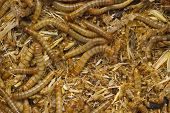 foto of larva  - full frame background of larva worms mixing with dirt and bran - JPG