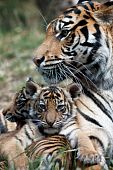 stock photo of tiger cub  - Three month old tiger cub snuggling with mum - JPG