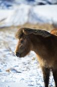 stock photo of brown horse  - Portrait of a brown Icelandic horse in front of snowy mountains - JPG