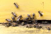 foto of honey bee hive  - Honey bees are flying in and out of an yellow hive gathering pollen for honey - JPG