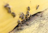 image of bee-hive  - Honey bees are flying in and out of an yellow hive gathering pollen for honey. ** Note: Shallow depth of field - JPG