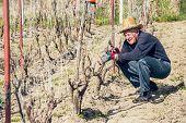 pic of prunes  - Senior man pruning grape in vineyard - JPG