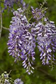 stock photo of lavender plant  - This is the beautiful purple lavender spring blooming wisteria sinensis vines that are a native plant growing in Morgan County Alabama USA - JPG
