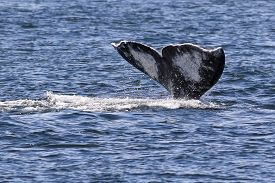 stock photo of whale-tail  - The tail of a Gray Whale in the Puget Sound