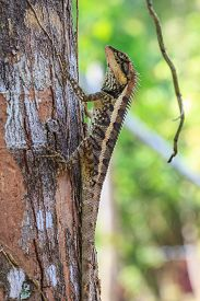 pic of lizards  - Greater spiny lizard - JPG