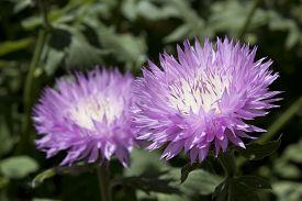 pic of musky  - Couple of musky purple cornflowers close up - JPG