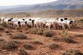 Flock Of Sheep Walking Down Gravel Road