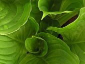 Furled Leaves