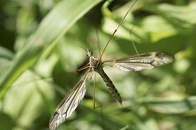 foto of gnat  - The macro closeup of a large crane fly via top view - JPG