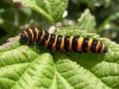 Cinnabar Larva 01
