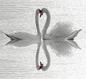 Swans love.