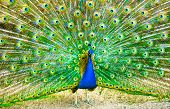 stock photo of peahen  - Peacock - JPG