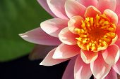 pic of budha  - Close up of a pink water lily - JPG