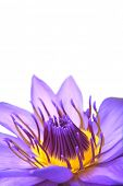 picture of water lily  - Purple water lily - JPG
