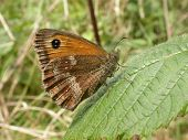 image of gatekeeper  - A Gatekeeper Butterfly   - JPG